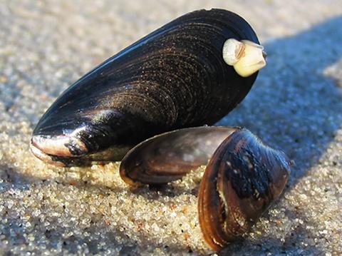 Miesmuscheln im Sand